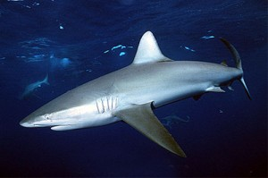 Photos of Galapagos Shark