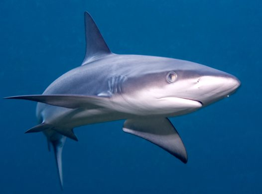 Pictures of Galapagos Shark
