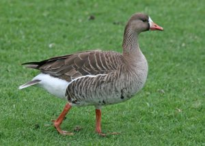 Images of Greater White-Fronted Goose