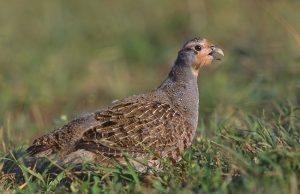 Grey Partridge Picture