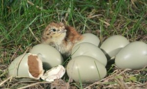 Grey Partridge Eggs Photo