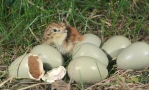 Grey Partridge Eggs Photo