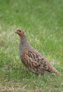 Pictures of Grey Partridge