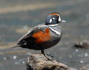 Harlequin Duck Picture