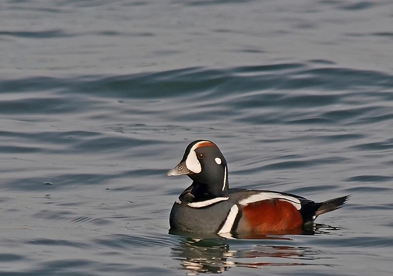 Harlequin Duck - photo#44
