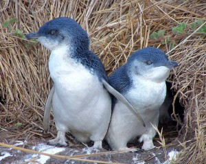 Images of Little Penguin