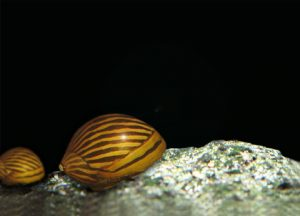 Neritina natalensis Picture