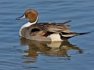 Images of Northern Pintail