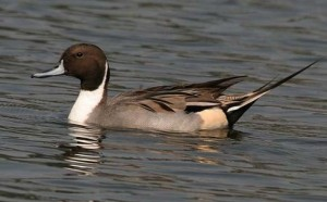 Photos of Northern Pintail