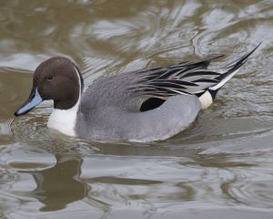 Pictures of Northern Pintail