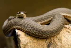Images of Queen Snake