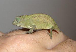 Rhampholeon brevicaudatus Picture