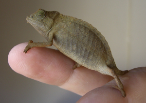 Images of Rhampholeon brevicaudatus