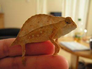 Photos of Rhampholeon brevicaudatus
