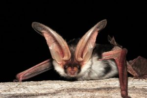 Spotted Bat Picture