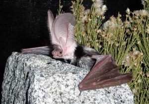 Images of Spotted Bat