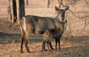 Pictures of Waterbuck