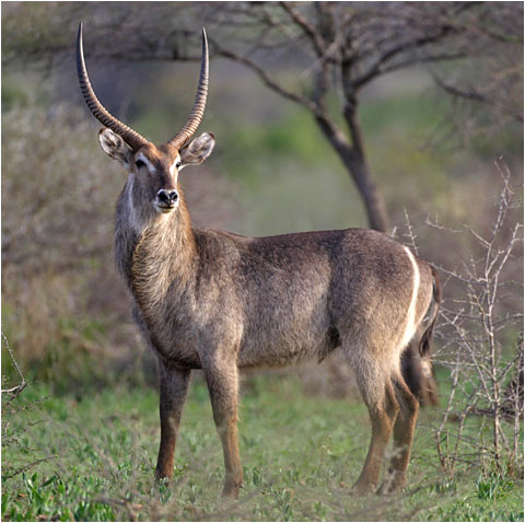 what is a waterbuck diet