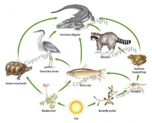 American Alligator Food Chain Photo