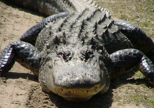 Pictures of American Alligator