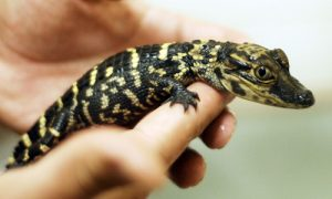 Baby American Alligator Photo