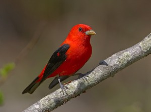 Scarlet Tanager Picture