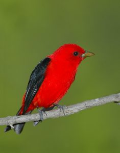 Photos of Scarlet Tanager
