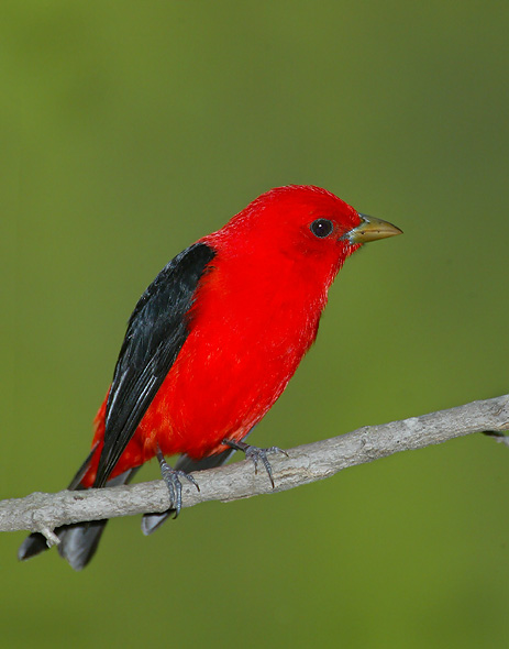 Image of: Breeding Photos Of Scarlet Tanager Animal Spot Scarlet Tanager