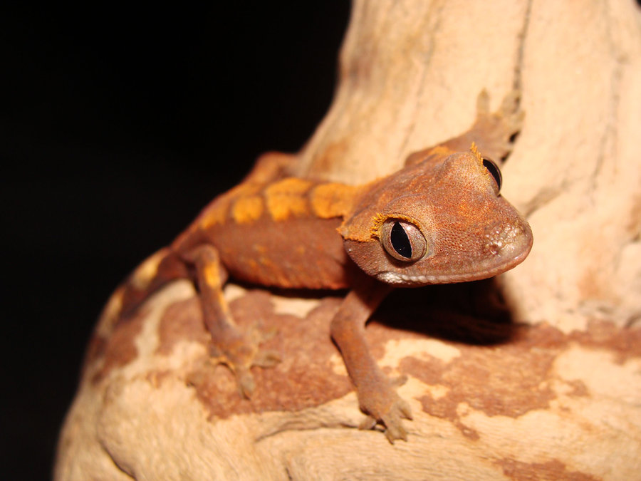 Crested Gecko Rhacodactylus Ciliatus Facts And Pictures