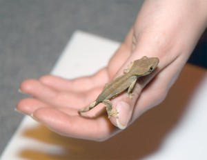 Baby Crested Gecko Image