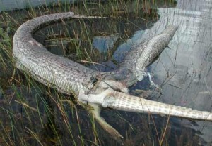 Burmese Python Eats Alligator Photo