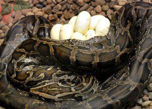 Burmese Python Eggs Image
