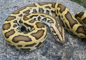 Images of Burmese Python