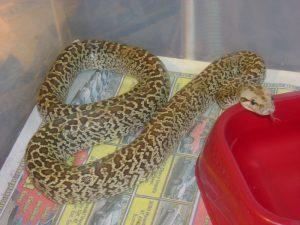 Burmese Python Morphs Image