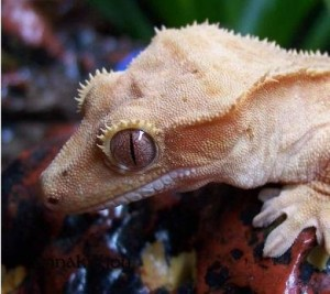 Crested Gecko Picture