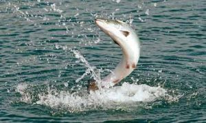 Atlantic Salmon Jumping Image