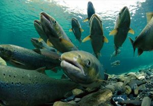 Photos of Atlantic Salmon