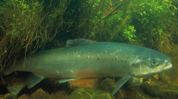 Pictures of Atlantic Salmon