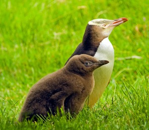 Baby Yellow-Eyed Penguin Photo