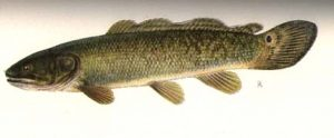 Bowfin Picture
