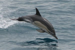 Images of Common Dolphin