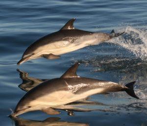 Photos of Common Dolphin