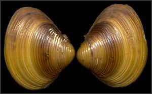 Corbicula Fluminea Picture