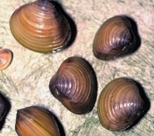 Images of Corbicula Fluminea