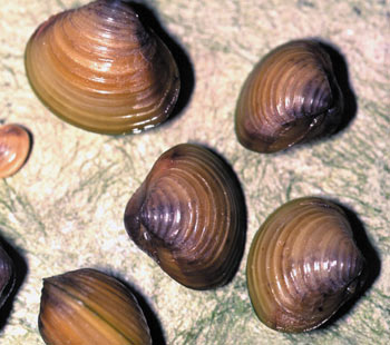 Images of Corbicula Fluminea