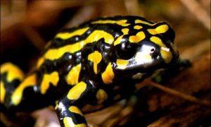 Corroboree Frog Picture