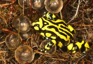 Photos of Corroboree Frog