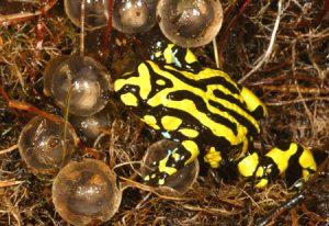 Photos of Corroboree Frog