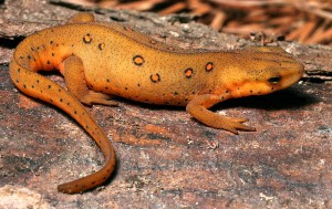 Eastern Newt Picture