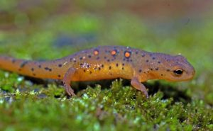 Pictures of Eastern Newt
